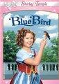 蓝色知更鸟