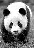 BBC:爱上大熊猫 海报